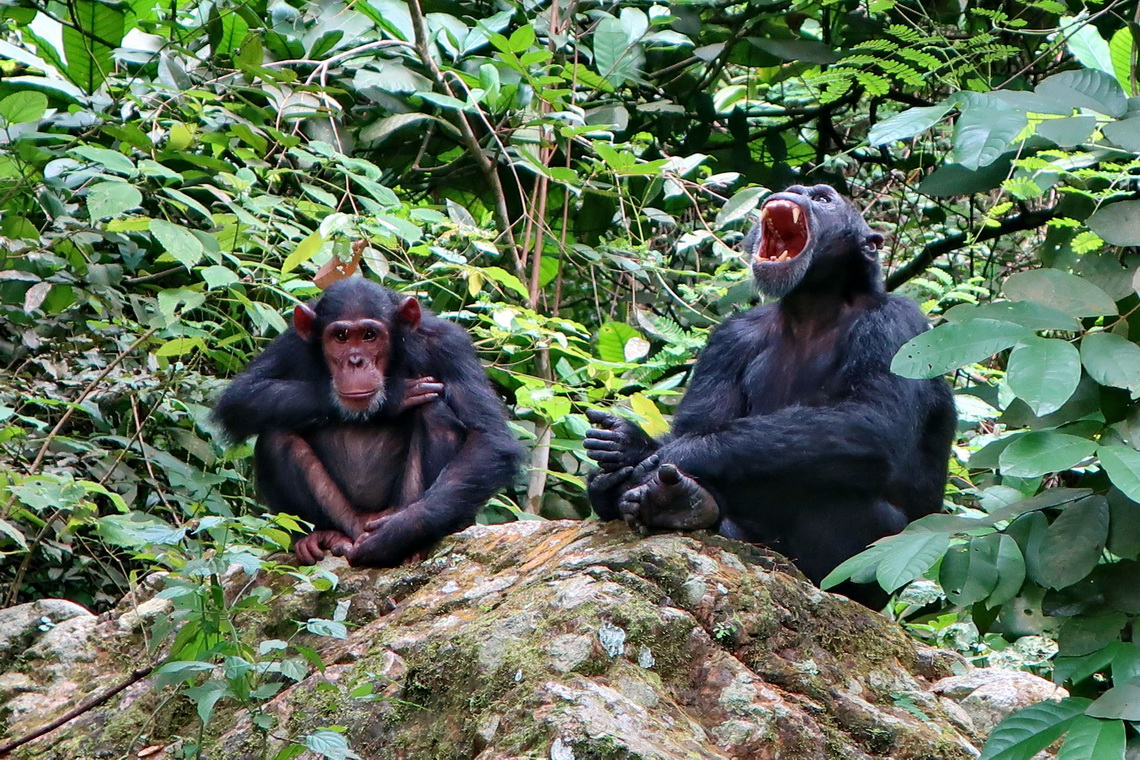 Chimps in the Gombe National on shore of Lake Tanganyika