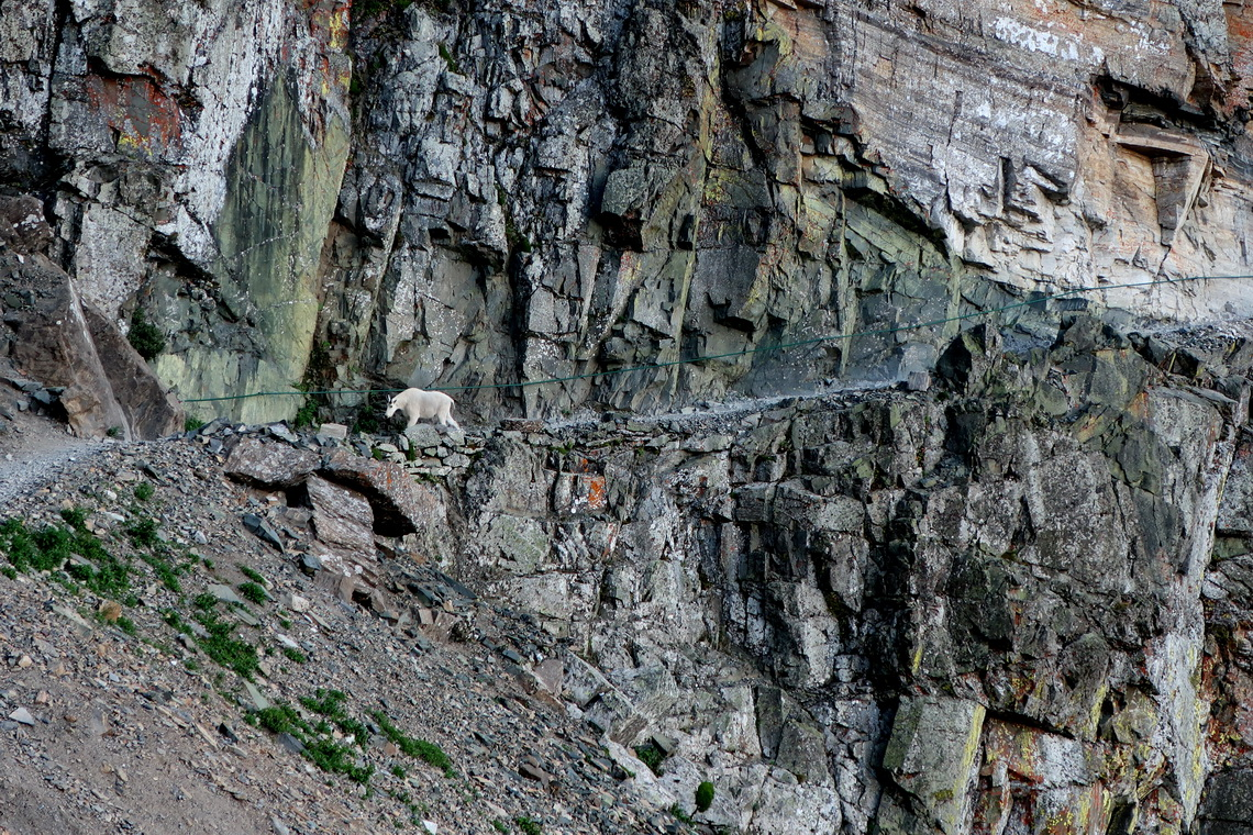 Mountain Goat in the rocks