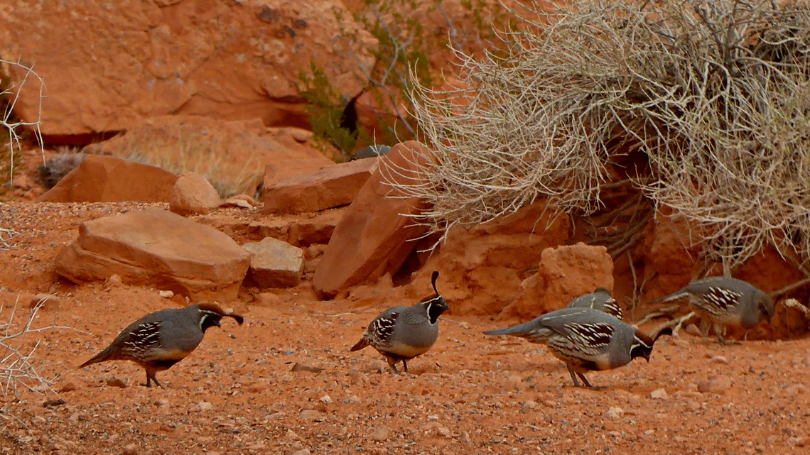 Gambel's quail on the visitor center of Valley of Fire