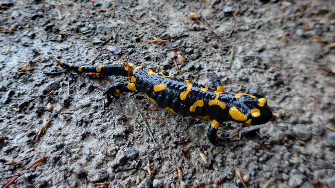 Salamander in the German Alps