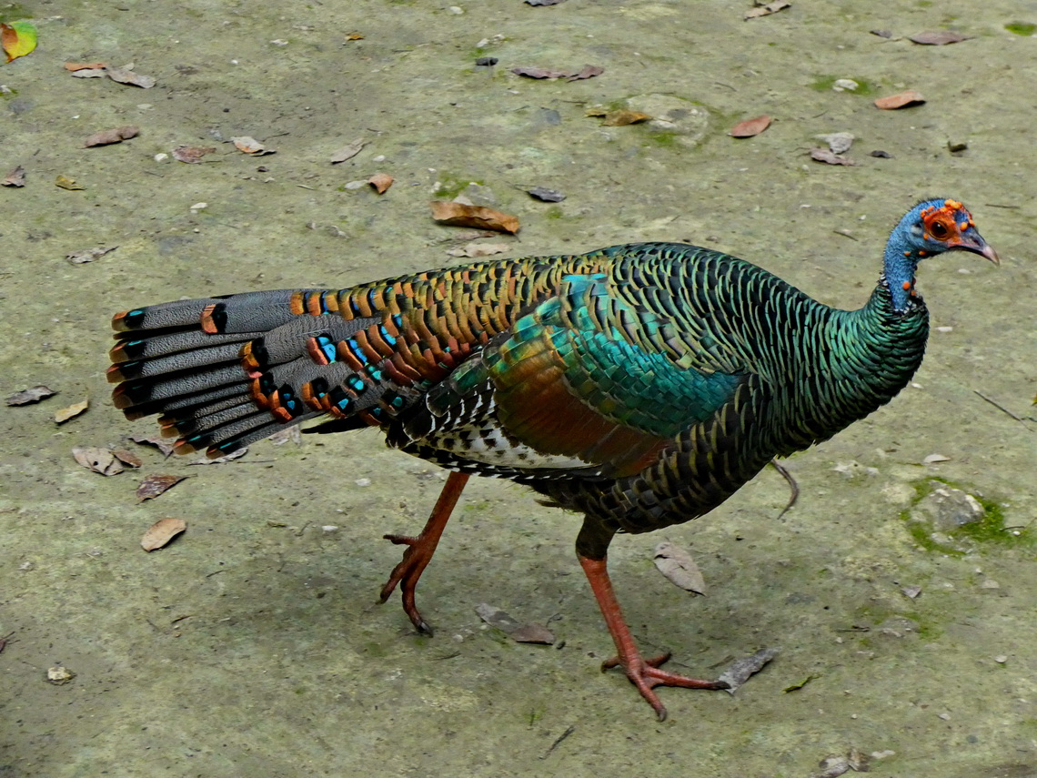 Ocellated Turkey which is an endemic species of northern Peten
