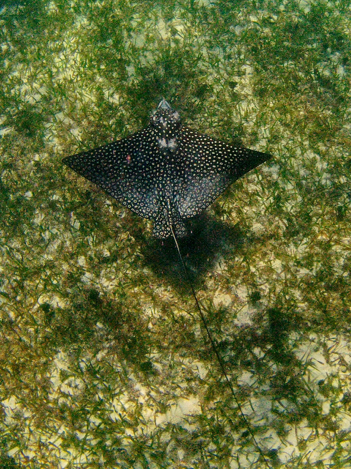 Spotted Eagle Ray in the shallow water of Sargeant's Caye