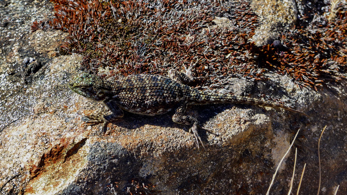 Lizard on the way to Cerro Chirripó