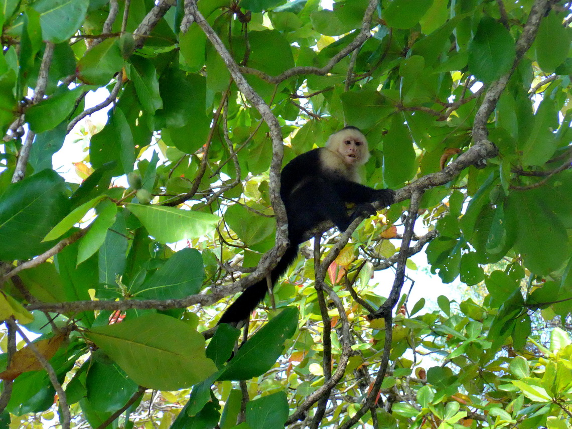 White-faced capuchin monkey above us
