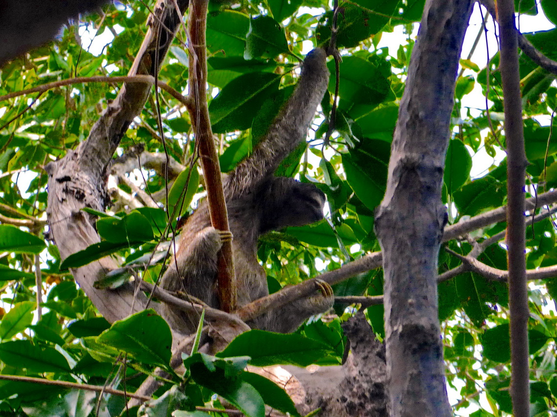 Sloth with three toes on Isla Bastimentos
