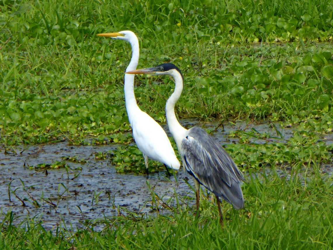 White and grey herons on the way from Bucamaranga to Mompós