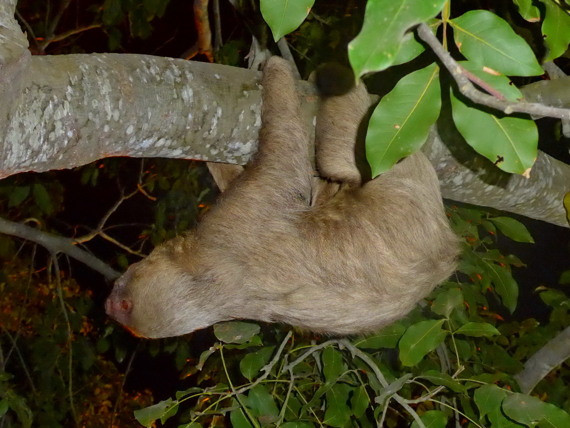 Sloth in Tolú