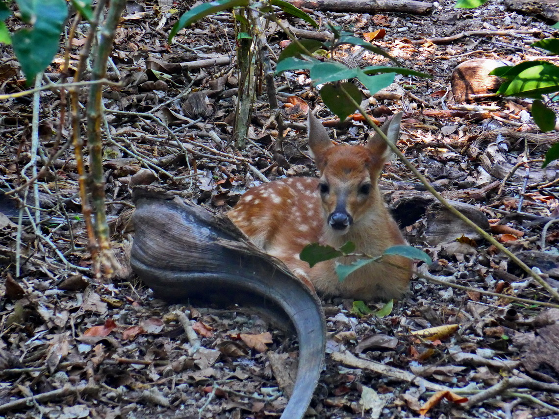 Fawn in the zoo of Isla Palma