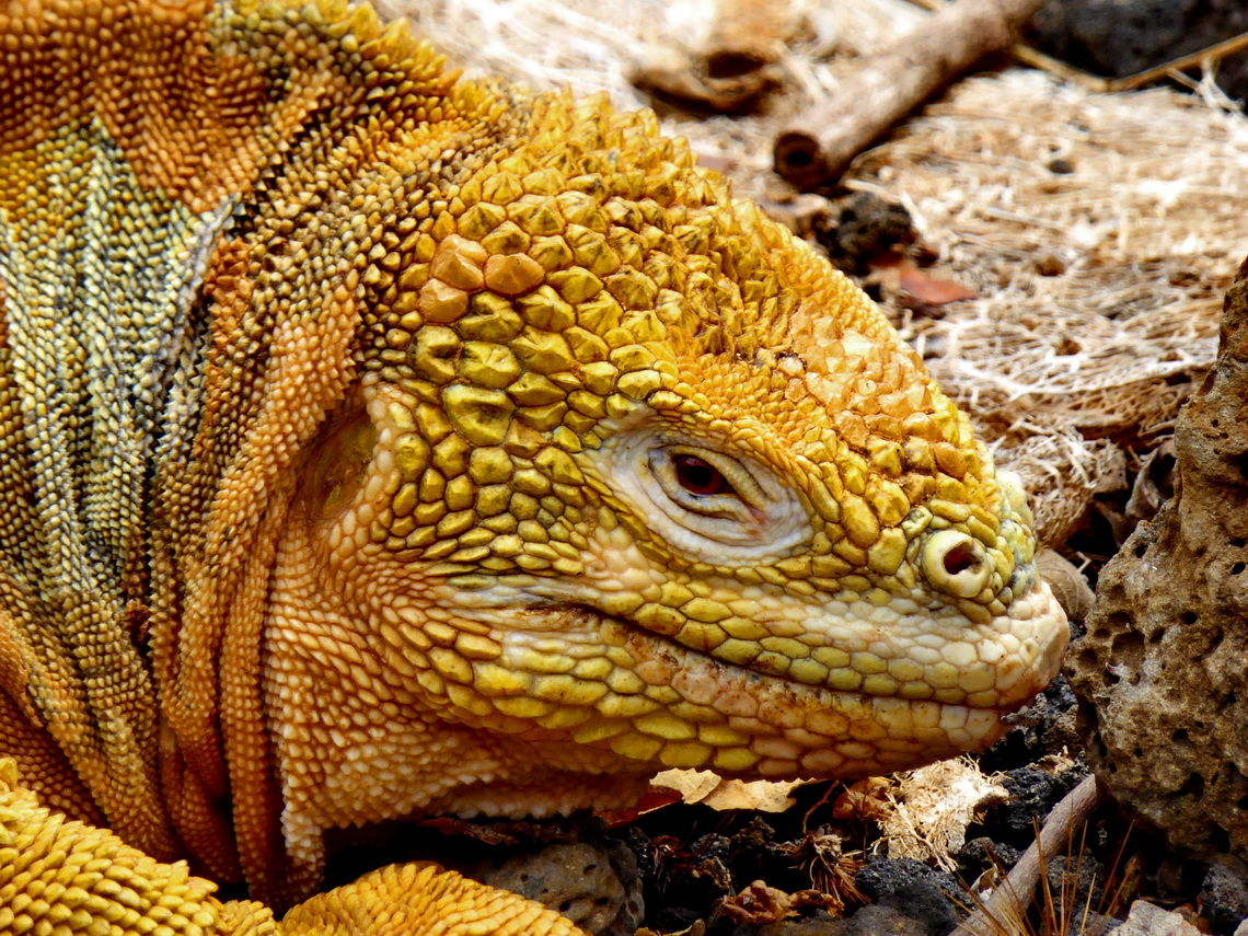 Head of a brown-yellow iguana