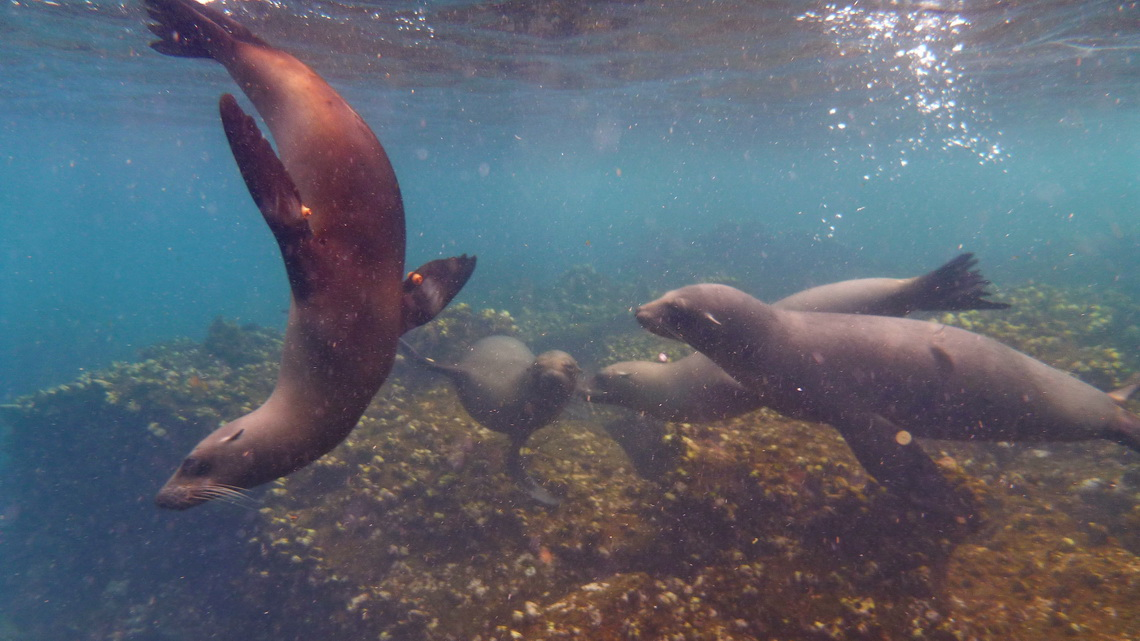 Sea lions in the water