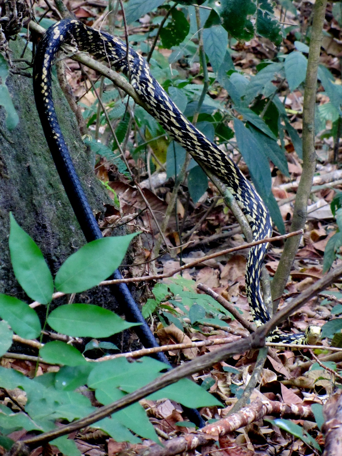 Snake Spilotes Pullatus, which is between 250 and 300 cm long. Its preys are birds, small mammals, amphibians, lizards and other snakes