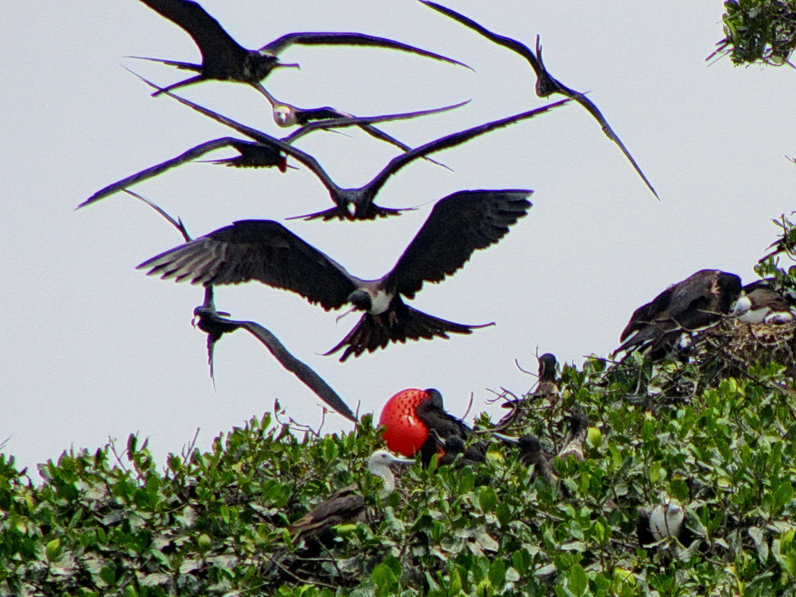 Flying sea swallows with red frigate bird