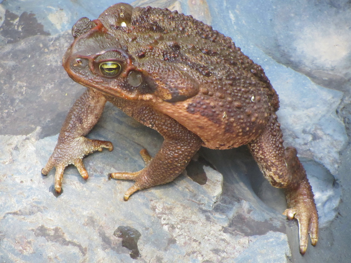 Huge toad with a body size of approximately 15cm diameter in the Raizama river