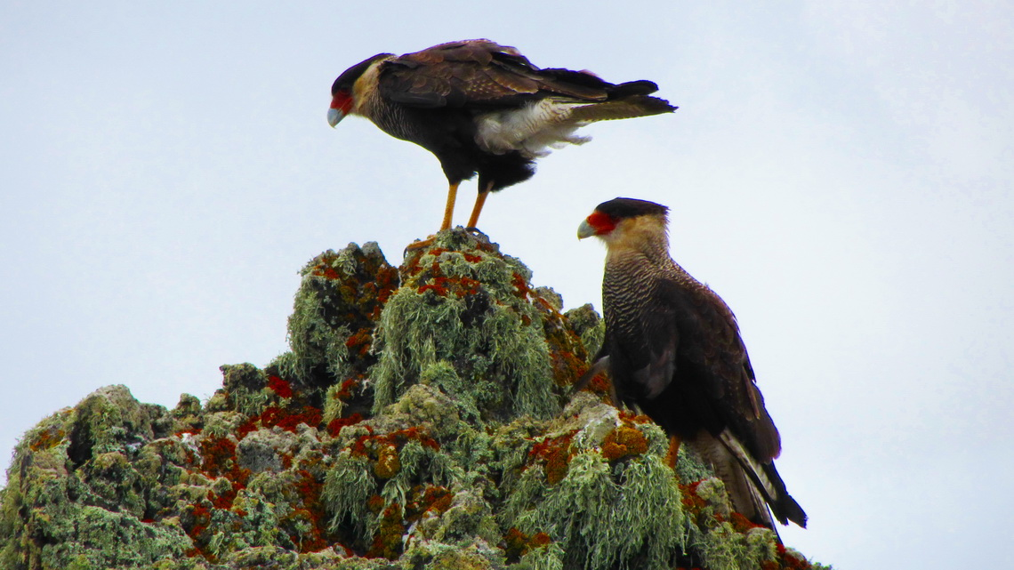 Two Crested Caracaras