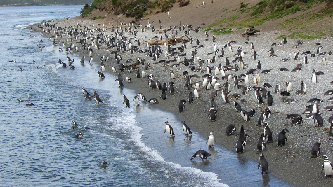 There is a huge Magellanic Penguin colony on an island in front of the Estancia Haberton