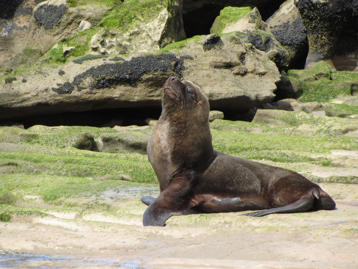 I am a Sea Lion, a very beautiful guy