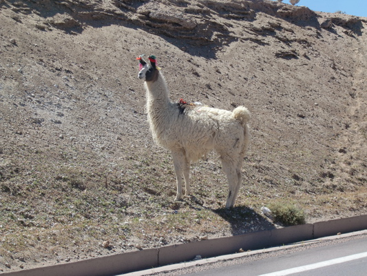 Lama on the way to Bolivia
