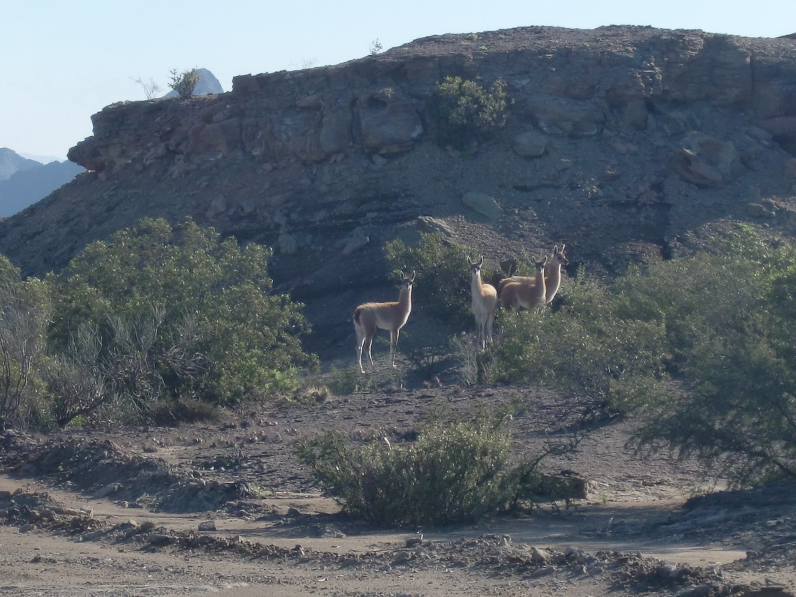Guanaco family closed to the Valle de le Luna