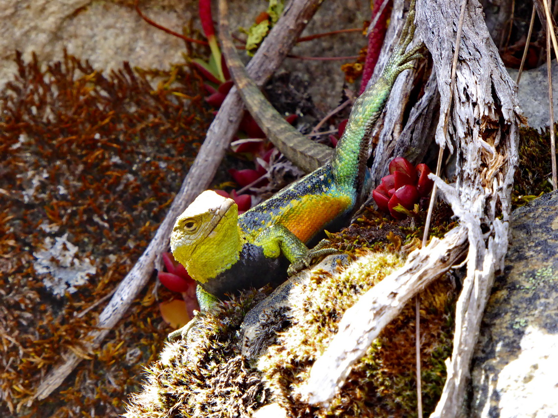 Colorful Lizard at more than 4000 meter sea-level