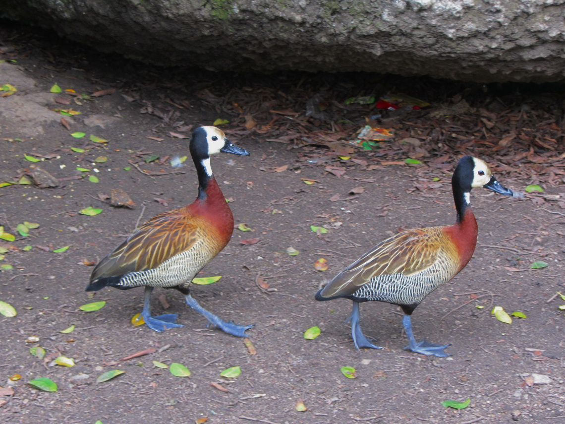 Ducks with blue feet in the park Placa da Republica