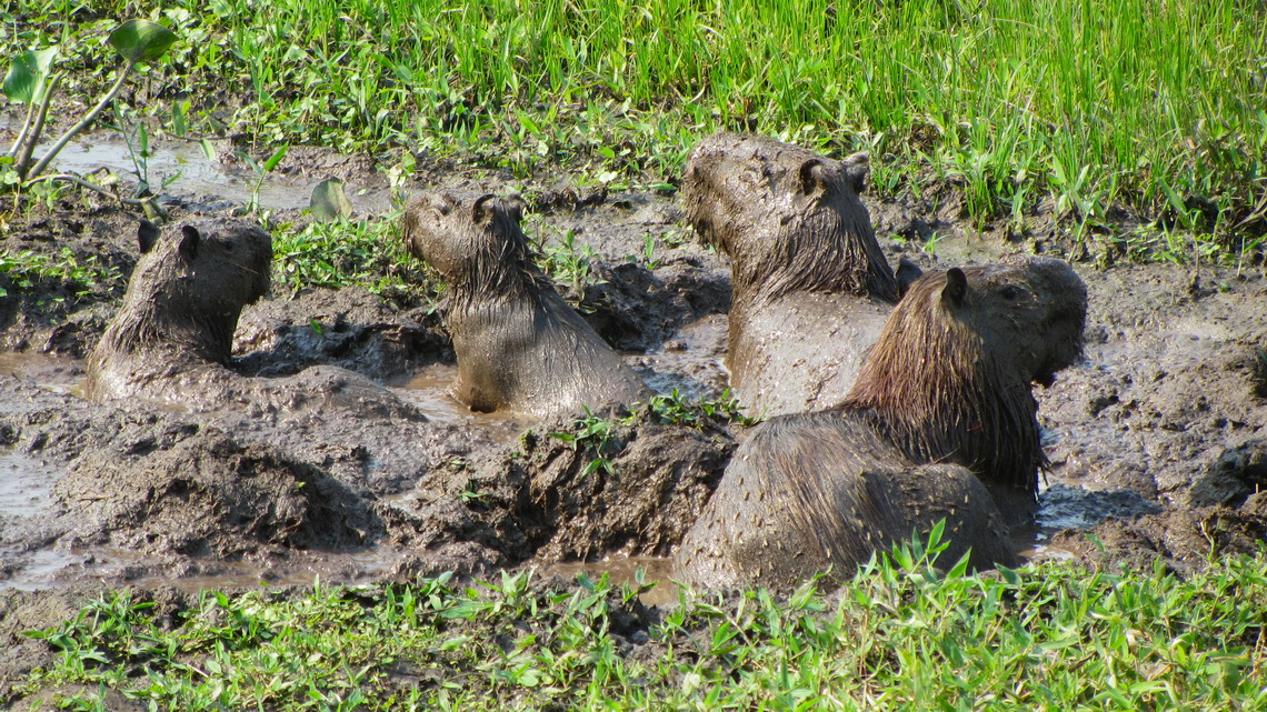 Capybaras in the mud