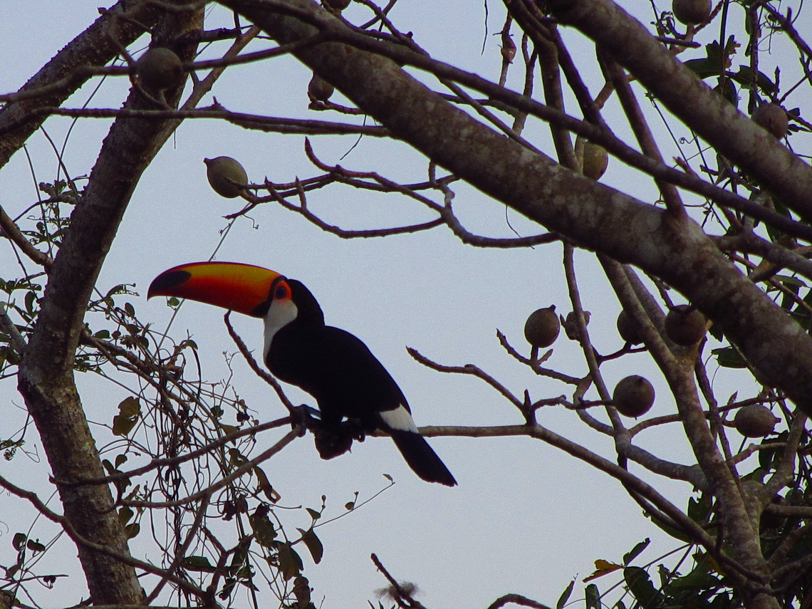Our first Toucan in South America