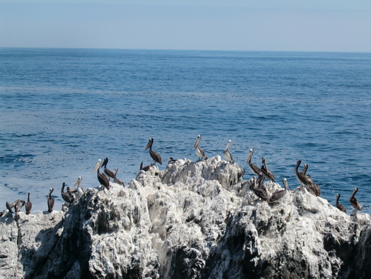 Pelicans north of Taltal